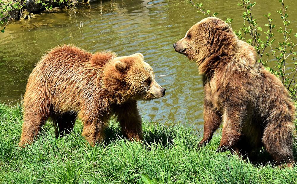 barna medve bocsok