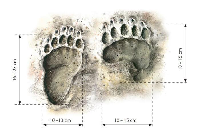 barna medve lábnyomok