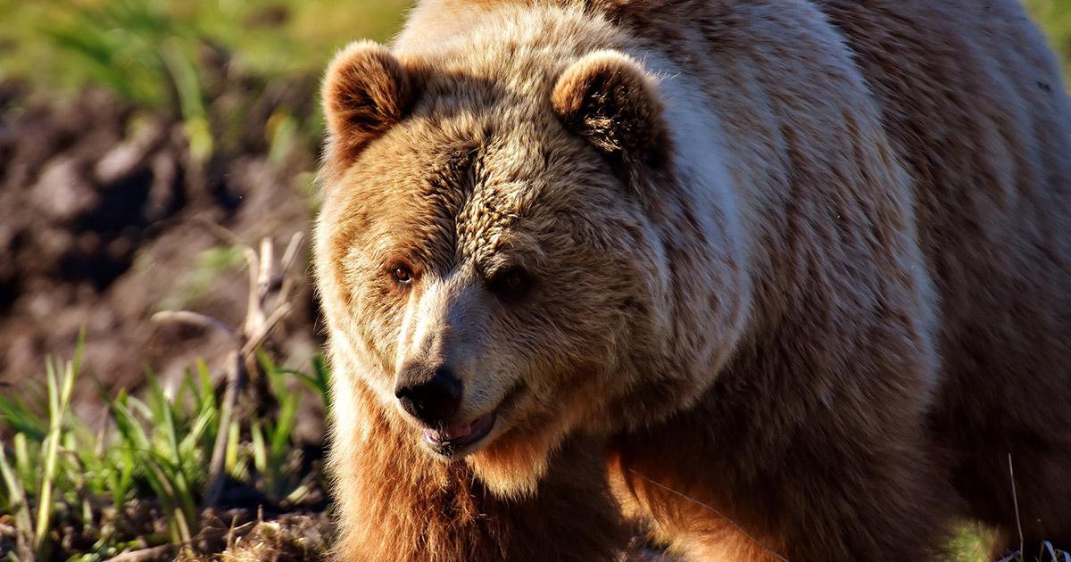 európai barna medve