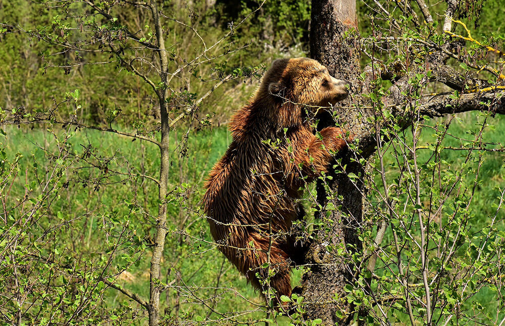 fára mászó barna medve