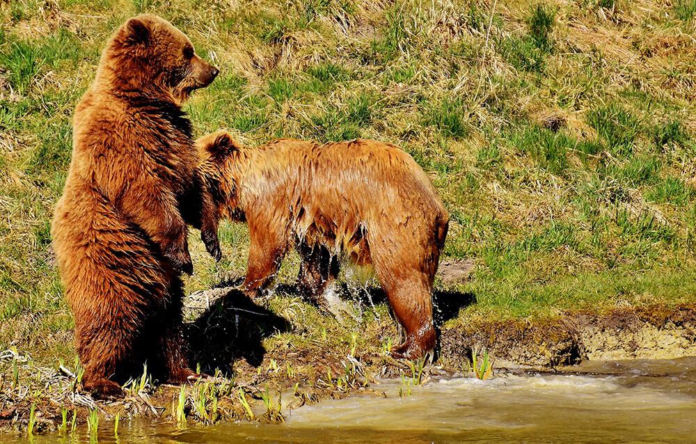 két lábra álló medve