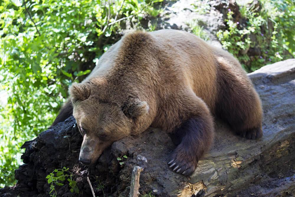 pihenő barna medve