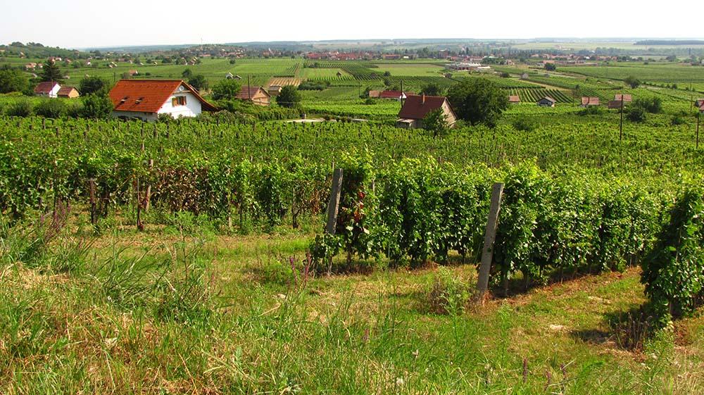 szőlők hétvégi házakkal
